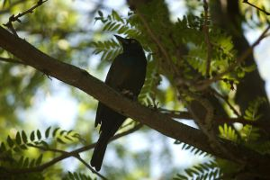 Common Grackle by toshema