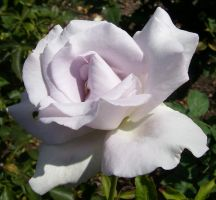 White Rose 2 by Ronron84