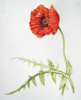 Papaver orientale by cambium