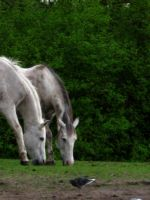 Two white horses - portrait by steppelandstock
