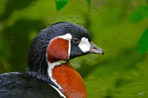 Stark Contrast - Red-breasted Goose by Momenti-Photo