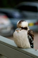 Kookaburra by baristopher
