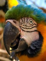 Macaw by Debellos