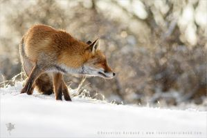 Red Fox, White Magic by thrumyeye