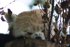 Red Panda 10 A by Cilmeron