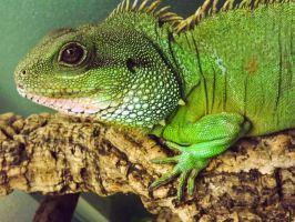 Chinese water dragon. by ElliographyCope