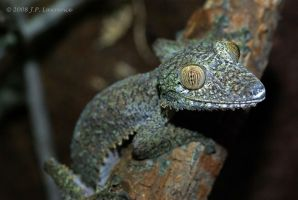 Giant Leaf-Tailed Gecko by MonarchzMan