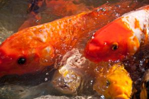 Orange Fishes by terryrunion