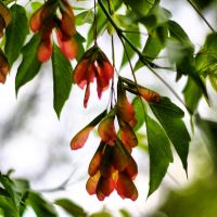 box elder maple seeds by Moon-Willow