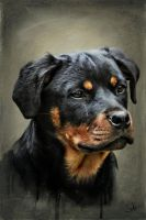 Rottweiler by wabazouk