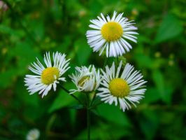 Camomile Flowers by the4ce