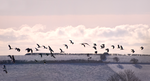 Flight of the lapwings by Poody-champa