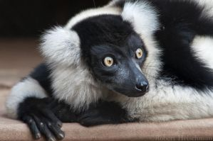 Black and White Ruffed Lemur 0172 by robbobert
