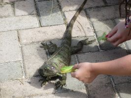 Feeding Iguana Time by ChasingDreams4