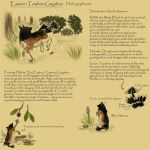 Eastern Towhee Gryphon Species Sheet by ChickenGryphon