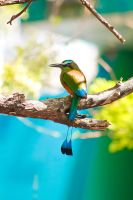 Turquoise Browed Motmot by SkylightPhtgrphy