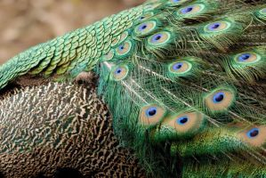 Peacock feathers- back and coverts 2 by Sarah-Hann-photo