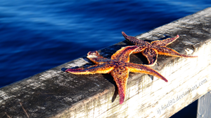 Sunbaking Starfish by sj-hael92