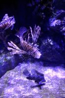 Lion fish by rbnsncrs