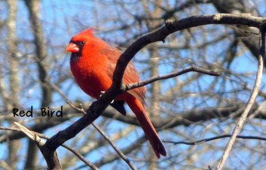 Red Bird by dgpc4ever