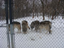 WSC-wolf pack by E-Moe-Wolf