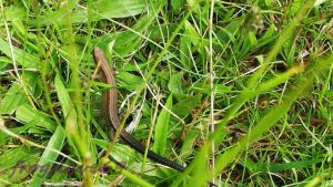 common lizard photo 2 by frogslave69