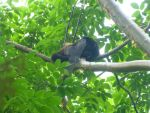 Howler Monkey by StormStrikeElectric