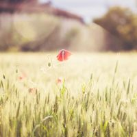 Poppy by Stefania-R