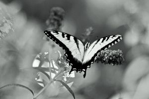 Swallowtail in Selenium by clippercarrillo