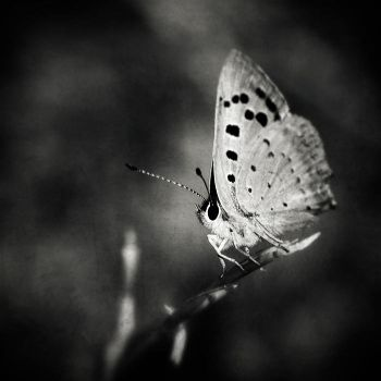 butterfly caught by tonchee