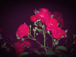 Roses in the night by mmariang