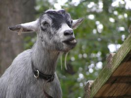 Goats are funny lookin' by SarahSunshine819