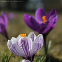 crocus by HappyRaindrop