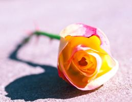 Sweet rose by pqphotography