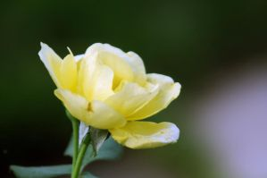 Rose In Yellow by LDFranklin
