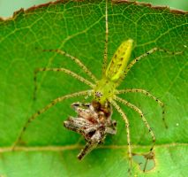Green Lynx eating a spider by duggiehoo