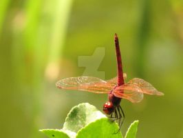 Violet Dropwing I by Maltese-Naturalist