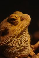 bearded dragon by yoricktlm
