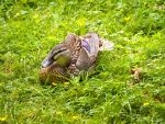 Female Mallard by garden--gnome