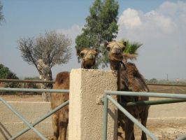 Camels by Andrutza97