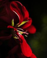 Red rose in backlight by silvio-barbosa67