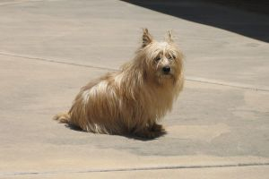Cairn terrier 1 by stockofshutterbugmom