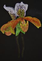 Paphiopedilum Jersey Freckles by Mararda
