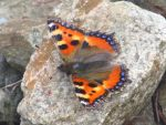 Small Tortoise Shell Butterfly on a Stone by AWKYWOLF99