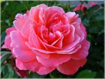 A rose for Mihaela by VasiDgallery