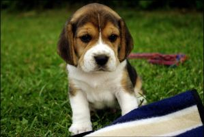 beagle pup by waitapu