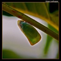 Grape Leafhopper 09 by boron