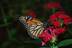 Monarch Butterfly Stock 16 by chamberstock