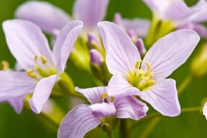 Cuckoo Flower by duncan-blues
