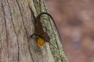 Crested Anole Dewlap! by CyclicalCore